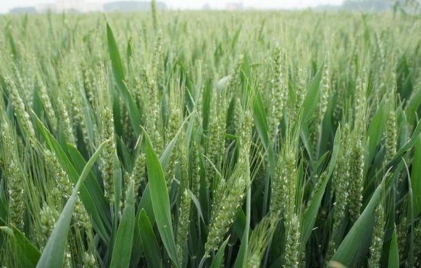 麦子图片的搜索结果_百度图片搜索_看图王.jpg